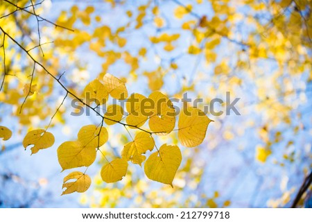 Yellow autumnal linden foliage, selective focus and shallow DoF - stock photo