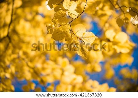 Yellow autumnal linden foliage, selective focus and shallow DoF - stock photo