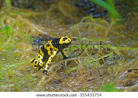 Yellow-banded poison dart frog (Dendrobates leucomelas), also known as yellow-headed poison dart frog or bumblebee poison frog, is a poisonous frog from the Dendrobatidae family. - stock photo