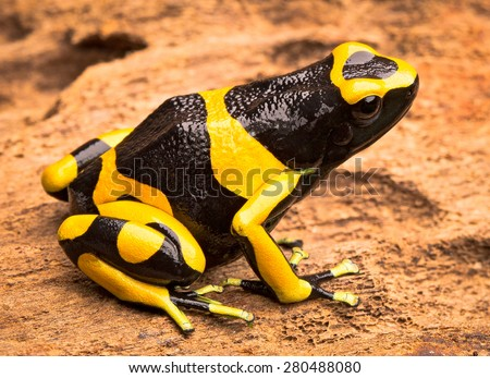 yellow banded poison dart frog, Dendrobates leucomelas from the Amazon rain forest of Venezuela. Beautiful poisonous exotic animal from the tropical jungle - stock photo