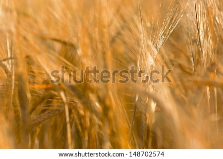 Yellow barley field in summer