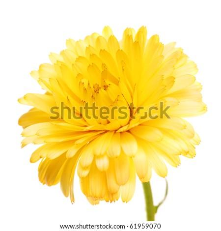 Yellow beautiful flower calendula on white isolated background - stock photo