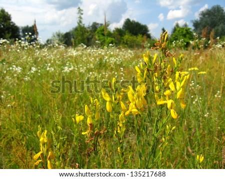 Yellow beautiful flowers of medical  St.-John's wort - stock photo