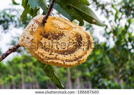 Yellow beautiful honeycomb with honey and young bee on tree, nature background. - stock photo