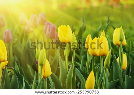 Yellow beautiful tulips field in spring time with sun rays - stock photo