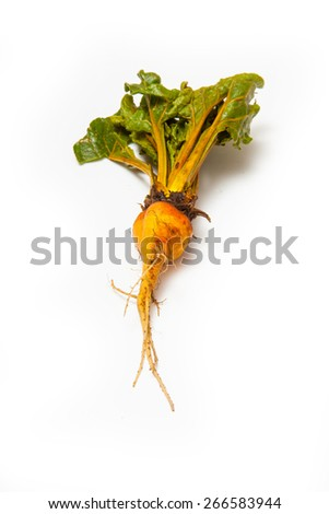 Yellow Beetroot isolated on a white studio background. - stock photo