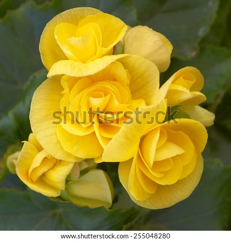 yellow begonia flowers closeup in the garden - stock photo