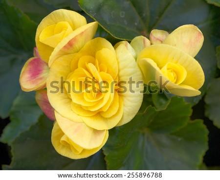 yellow begonia flowers closeup in the garden - stock photo