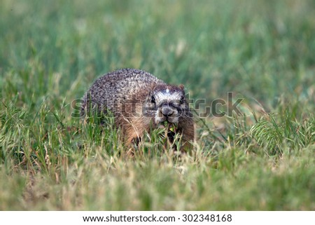 Yellow-bellied Marmot eats grass in Wyoming - stock photo
