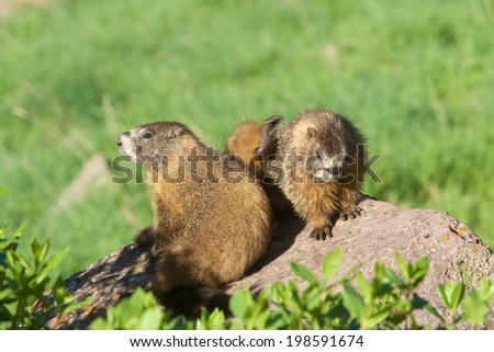 Yellow-bellied Marmots on a Rock