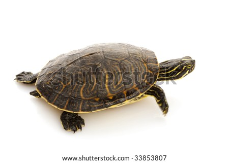 Yellow-bellied Slider (Trachemys scripta scripta) isolated on white background.