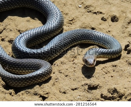 yellow-bellied snake (dolichophis caspius)  in a posture of defense and attack. Dune sarykum. - stock photo