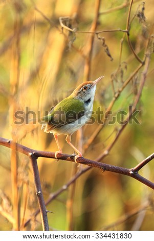 Yellow-bellied sunbird stand on branch in Inthanon Mountain, Chiang Mai, Thailand. - stock photo