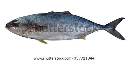 Yellow-bellied tuna - stock photo