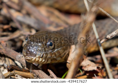 Yellow-bellied water snake up close