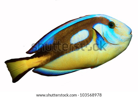 Yellow-belly Blue tang (Acanthurus hepatus) isolated on white background