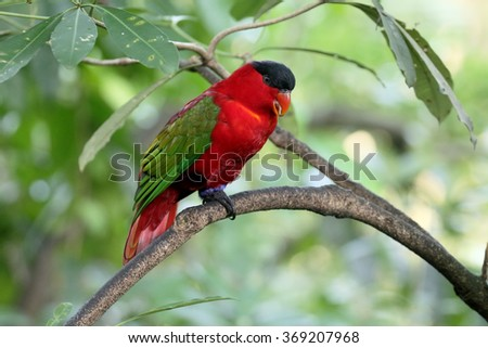 Yellow-bibbed lory, Lorius chlorocercus, single bird on branch, captive, January 2016
