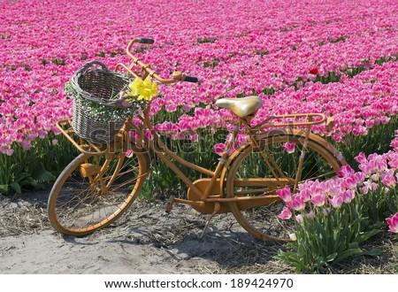 yellow bicycle with a basket in a pink tulip field - stock photo