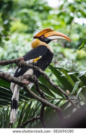 Yellow Billed Hornbill Great hornbill, Great indian hornbill, Great pied hornbill, Hornbill, selective focus - stock photo