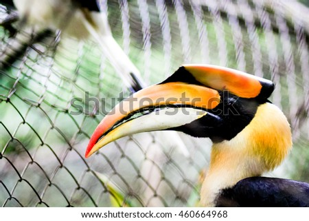 Yellow Billed Hornbill Great hornbill, Great indian hornbill, Great pied hornbill, Hornbill, Focus through the cage, Selective focus - stock photo