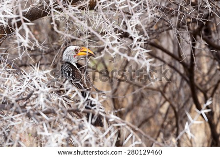 Yellow-billed Hornbill sitting on a branch and rest, Kamanjab, Namibia - stock photo