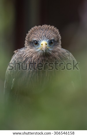 Yellow-billed kite { Milvus aegyptius} at a birds of prey centre. Staring directly into the camera through green foliage. International Birds of Prey Centre, Gloucestershire. March