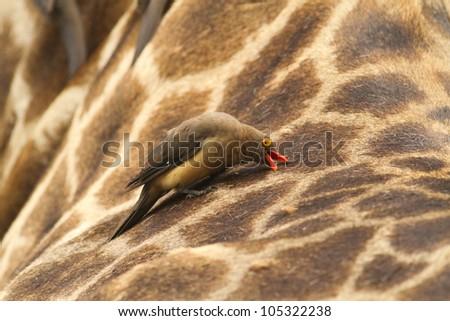 Yellow-billed Oxpecker on Giraffe - stock photo