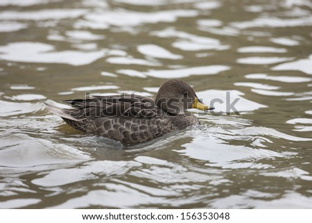 Yellow-billed Pintail (Anas georgica georgica), South Georgia subspecies swimming in a pond on South Georgia Island near Salisbury Plain. - stock photo