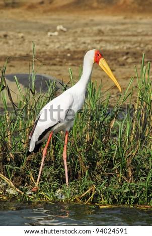 Yellow-billed stork - stock photo