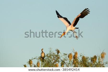 Yellow Billed Stork and baby in Chobe River in Botswana - stock photo