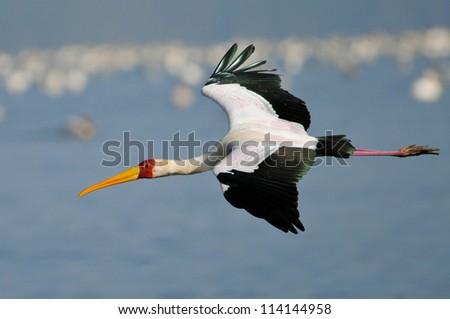 Yellow-Billed Stork flying low over the water.  Nakuru National Park, Kenya. - stock photo