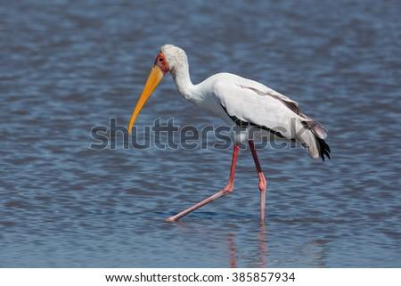 Yellow Billed Stork wading in water in Moremi in Botswana - stock photo