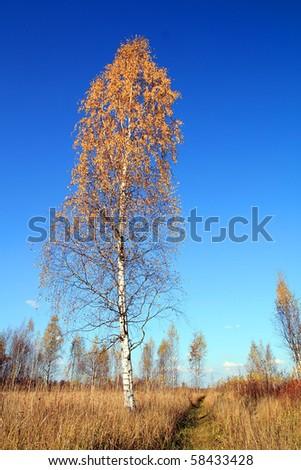 yellow birch - stock photo