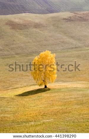 Yellow birch in a field - stock photo