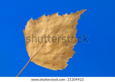 Yellow birch leaf on the blue background