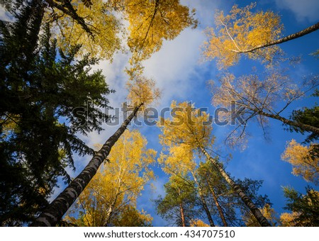 yellow birch tops on blue sky background - stock photo