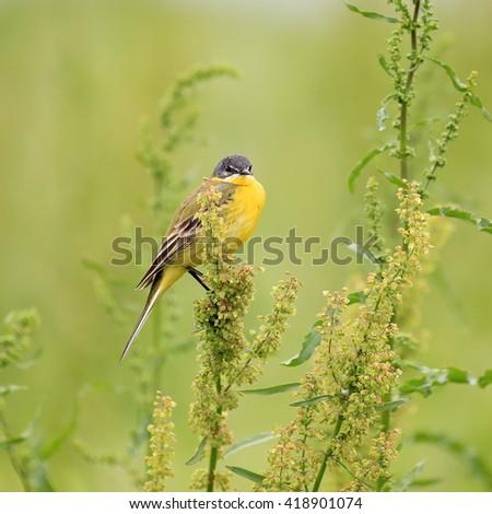 Yellow bird close-up. Western yellow wagtail (Motacilla flava) in its natural habitat - stock photo