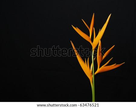 Yellow Bird of paradise flowers on black background - stock photo