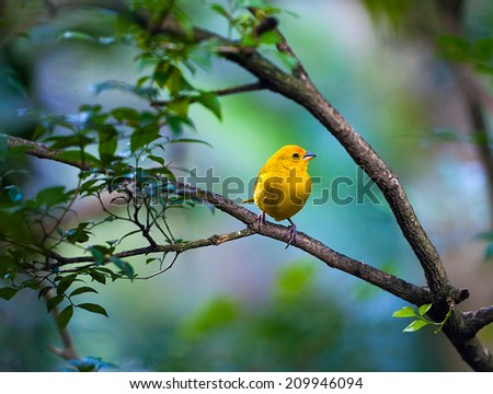 Yellow bird sitting on a branch, wildlife - stock photo