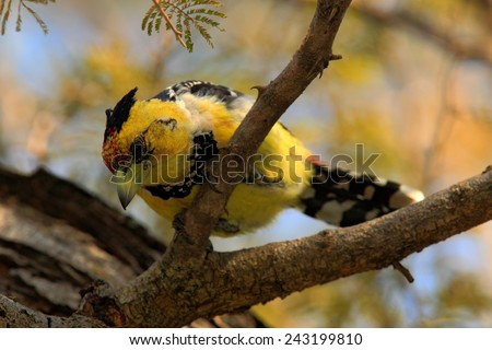 Yellow birds Crested Barbet, Trachyphonus vaillantii, Chobe National Park, Botswana - stock photo