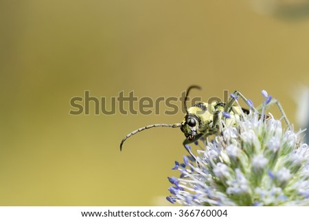 Yellow black beetle sitting on a flower. Blurred natural background. close-up. - stock photo