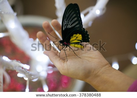 yellow black butterfly sits on a hand. Troides rhadamantus