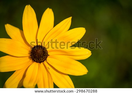 yellow black-eyed susan wildflower close up - stock photo