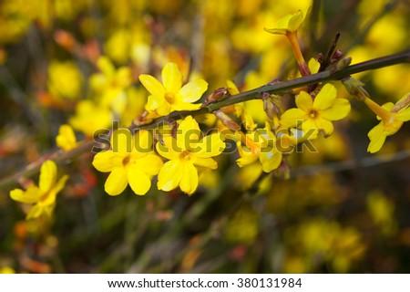 Yellow bloom of a winter jasmine bush. - stock photo