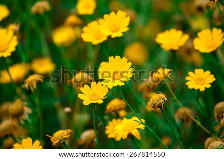 yellow blooming corn daisy or Glebionis - stock photo