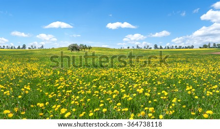 Yellow blooming dandelion on a large meadow in rural landscape with blue and white sky  - stock photo