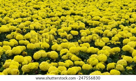 Yellow blooming flowers background, blossom flowers in winter time in Malta, yellow flowers, yellow background, flora, maltese flora - stock photo