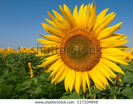 Yellow blooming sunflower on field with clear blue sky background