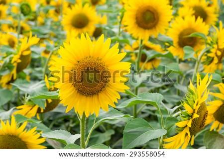 Yellow blooming sunflowers agro background. - stock photo