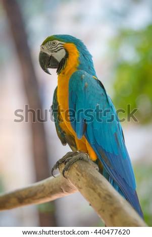 yellow Blue Macaw Bird Isolated - stock photo